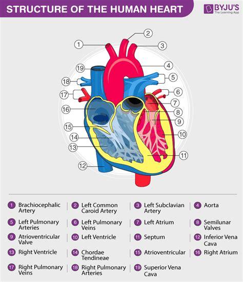 human circulatory system circulatory system organs