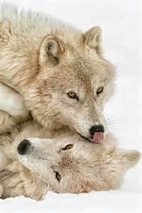 Arctic Wolf Animals