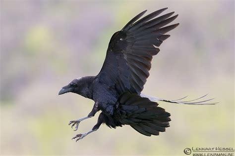 130418-common-raven.jpg (1536×1024)
