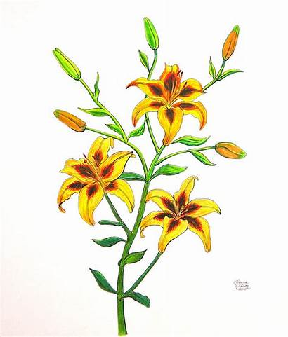 Drawing Lily Cane Candy Easter Lilies Wilson