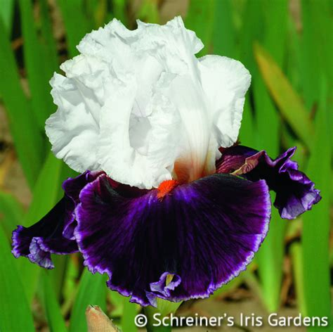 how to care for iris bearded iris bearded iris care amoena