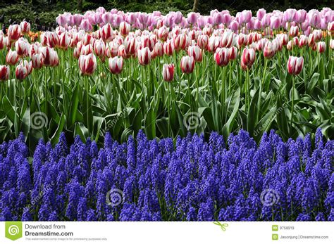 tulip flower garden free stock tulip garden royalty free stock images image 9758919