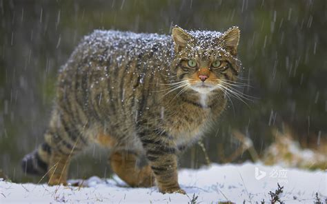 hybrid wildcats   key  saving  scottish