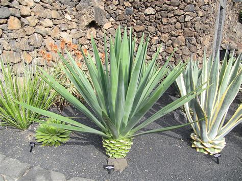 agave picture agave fourcroydes wikipedia