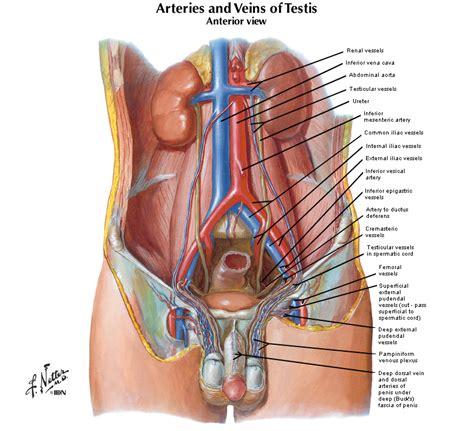 duke anatomy lab  inguinal region gonads