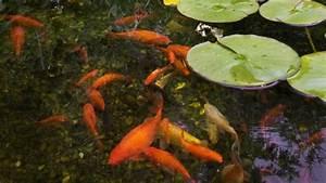 Goldfisch Haltung Im Teich : ein gartenteich ohne fische ist nur halb so sch n ~ A.2002-acura-tl-radio.info Haus und Dekorationen