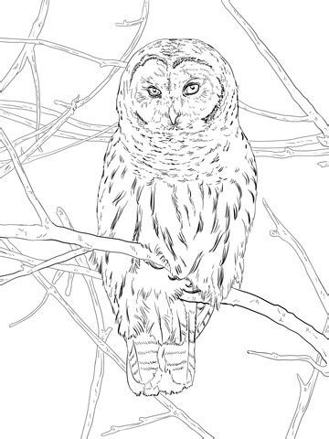 hoot owl coloring page  printable coloring pages
