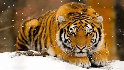 Tigers Wild Tiger Animated Animal Wallpapers Screensaver