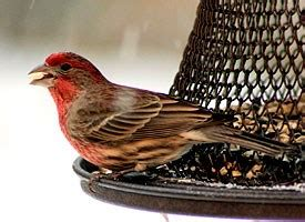 house finch life history   birds cornell lab