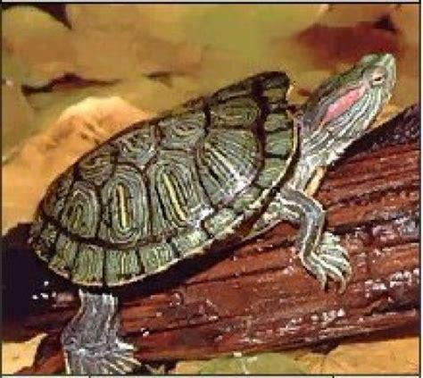 aquarium tortue de floride tortue de floride animaux