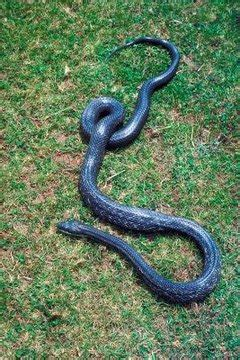 types  snake species  michigan animals momme