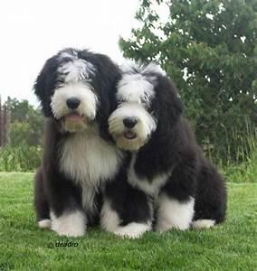 collie dog | Joe and Luka Bearded collies, black and white ...