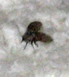 Drain Flies In Bathroom by Bathroom Fly What S That Bug