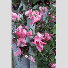 1167 Best Images About Vines, Creepers & Climbers On
