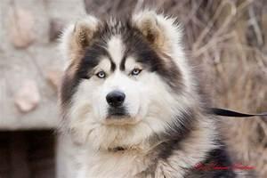 Alaskan Malamute vs Siberian Husky | Alaskan Malamute Vs ...