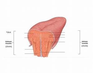Intrinsic And Extrinsic Muscles Of The Tongue