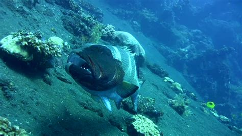 grouper saddle plectropomus laevis shutterstock