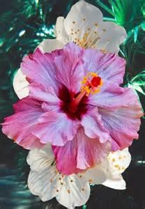 Beautiful Hibiscus Flower