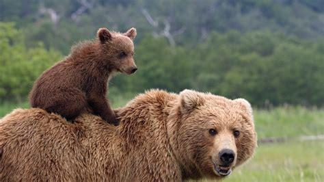 Медведь где живет чем питается виды сколько живет фото