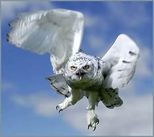 Snowy owl in flight. | Scientific name: Nyctea scandiaca ...