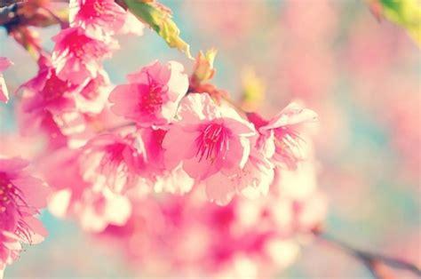 fiore giapponese il fiore di ciliegio giapponese dal significato