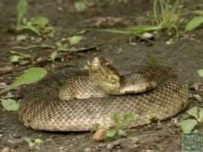 Common Poisonous Snakes in Texas