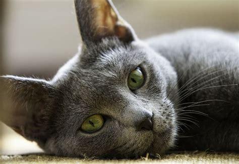 Do Russian Blue Cats Shed by 20 Ravishing Russian Blue Cats Kittiewitties ロシアンブルー