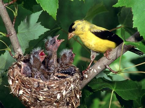 mother and father bird work very hard together to take