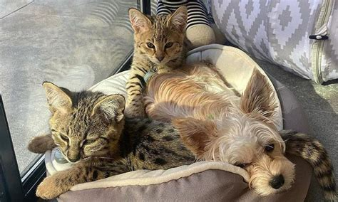 justin biebers exotic furry cat friends   cutest