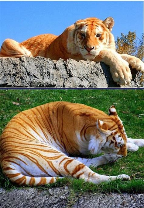 Golden Tiger Big Cats Pinterest