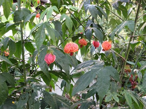 tropical flowering maple what grows there hugh conlon horticulturalist professor