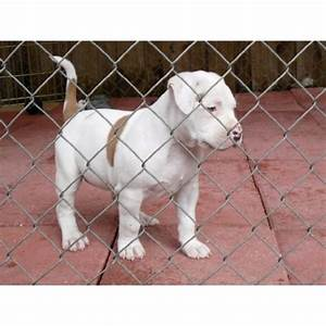The gallery for --> White And Brown Pitbull Puppies