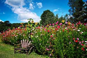 Pictures Nature Flowers Gardens Sunflowers Cosmos plant Bench