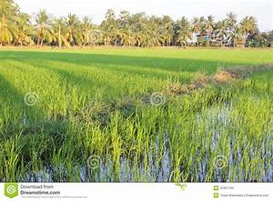 Rice Field With Coconut Tree Background Stock Images