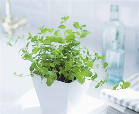 grow ls for indoor plants growing mint indoors how to care it balcony garden web