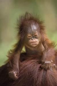 Baby orangutan | Too Cute! | Pinterest