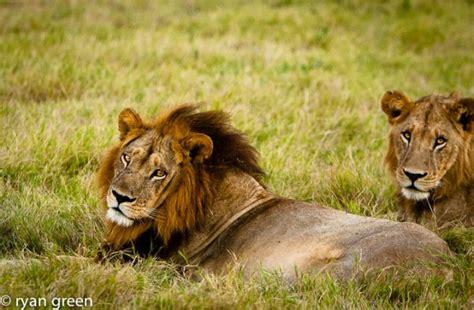 black maned lioness   okavango africa geographic