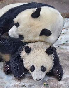 326 best images about Panda Love on Pinterest