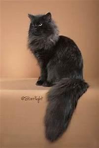 1000+ ideas about Siberian Cat on Pinterest | Siberian ...