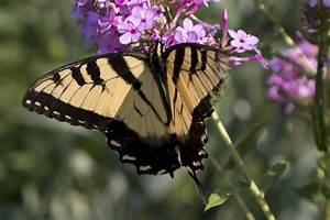 Butterfly Larval Host Plant List  U2014 York County Master
