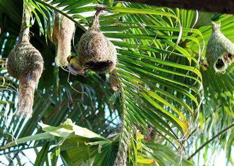 Stock Pictures: Weaver bird nests