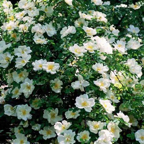 planter rosier en pot planter des rosiers