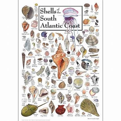 Shells Coast Atlantic Poster South Gulf Florida