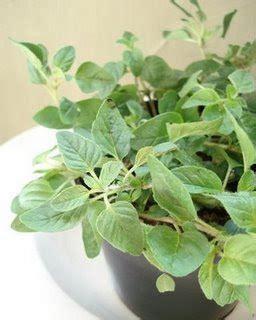 Tanaman Sayuran Dan Bumbu Oregano yang ku kutip sepanjang perjalanan hidup seperti apa daun