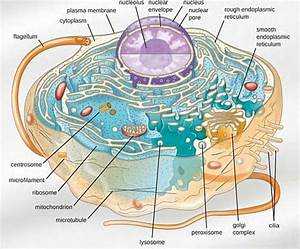 Animal Cell Structure  Diagram  Model  Animal Cell Parts