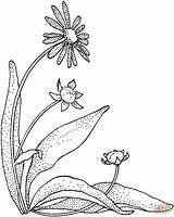 Coloring Daisy Printable Colorat Gerbera Margarete Colorare Flowers Daisies Disegni Fleurs Supercoloring Planse Margherita Dessin Fleur Gerberas Imprimer Dibujos Tela sketch template