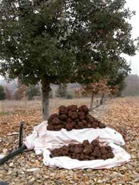 comment cuisiner les truffes noires récolte de la truffe quand et comment
