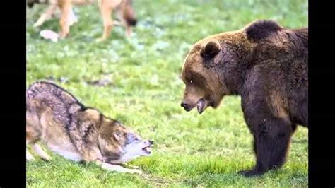 lobo  oso  puma salvajes peleas reales cual gana