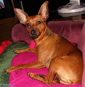 Miniature Pinscher Mix Red   www.imgkid.com - The Image ...