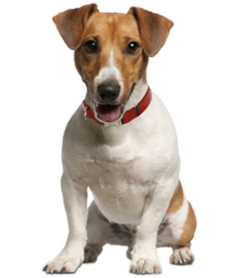 jack russell terrier puppies rescue  adoption